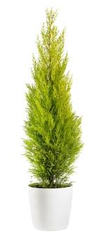 Beau feuillage de couleur chartreuse d'un cyprès à feuilles persistantes cupressus wilma goldcrest dans un pot de fleurs, vue latérale isolé sur blanc