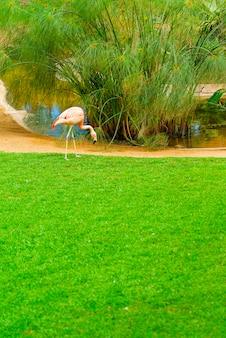 Beau flamant rose sur l'herbe dans le parc