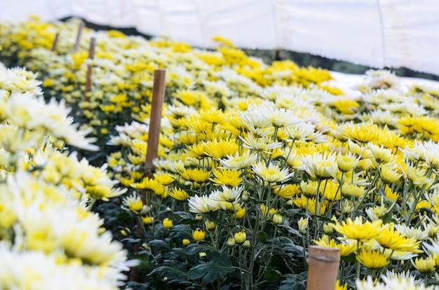 Beau floral jaune et blanc de chrysanthemum morifolium dans une plantation sur le terrain, entreprise agricole de jardin de fleurs en serre sur la montagne doi inthanon, chiang mai, industrie agricole en thaïlande