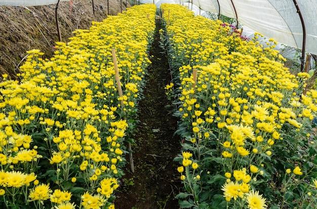 Beau floral jaune de chrysanthemum morifolium dans une plantation sur le terrain, entreprise agricole de jardin de fleurs en serre sur la montagne doi inthanon, chiang mai, industrie agricole en thaïlande