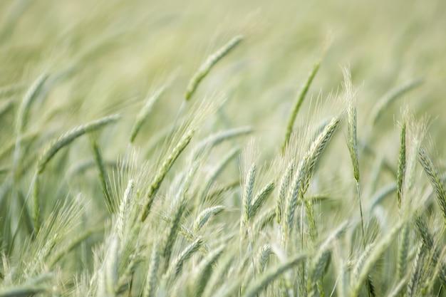 Beau fond de champ de blé flou de mouvement dans le vent d'été