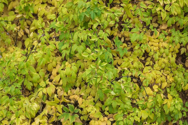 Beau fond de feuillage d'automne jaune et vert.