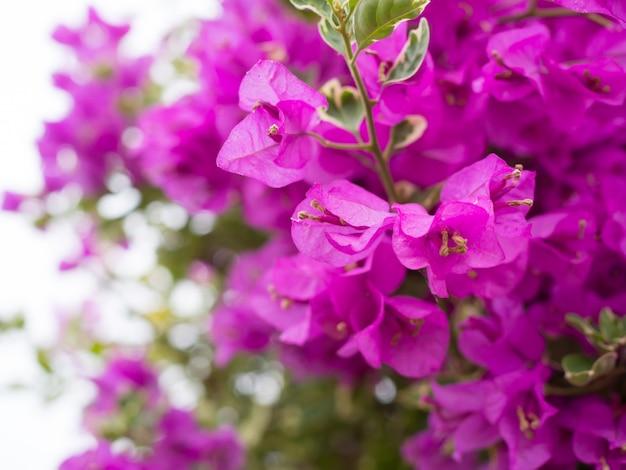 Beau fond de fleurs de bougainvilliers en fleurs dans le jardin