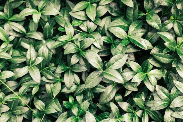 Beau fond de nature fait de feuilles de pervenche ou de feuilles tropicales vertes avec une texture détaillée...