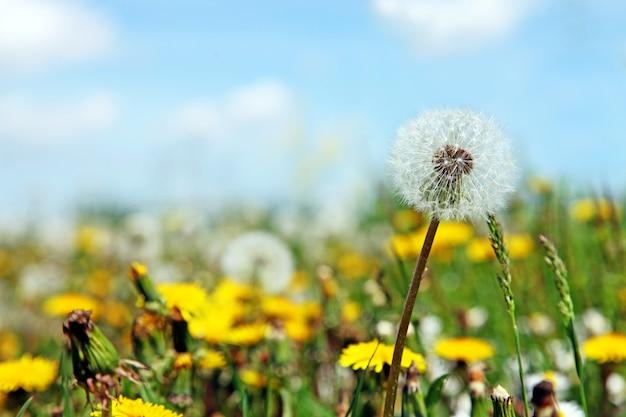 Beau fond de nature printemps rêveur avec pissenlit