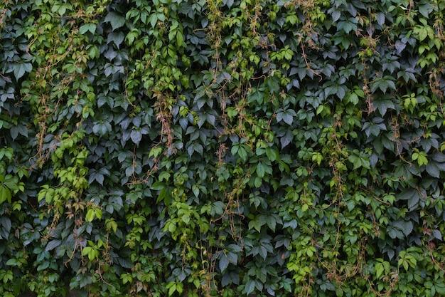 Le beau fond naturel rouge et vert vif est présenté sous forme de raisins sauvages. les feuilles de vigne rouge vif recouvrent le mur de la maison ou la clôture.