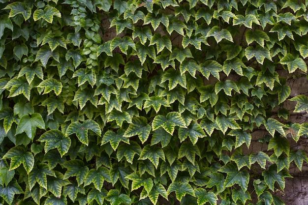 Le beau fond naturel vert clair est présenté sous forme de raisins sauvages. les feuilles de vigne recouvrent le mur de la maison ou la clôture.