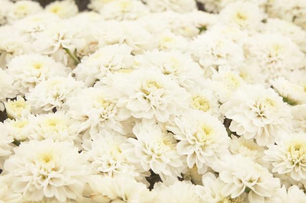Beau fond de pissenlit, des fleurs blanches fleurissent dans le jardin.