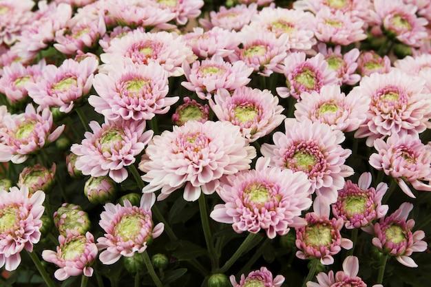 Beau fond de pissenlit, des fleurs roses fleurissent dans le jardin.