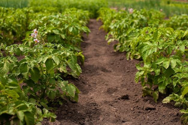 Beau fond avec des plants de pommes de terre verts sains avec des fleurs lilas