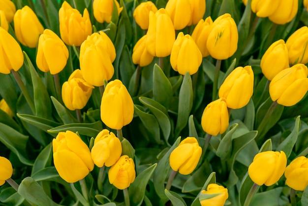 Beau fond de tulipes. fond naturel festif floral.