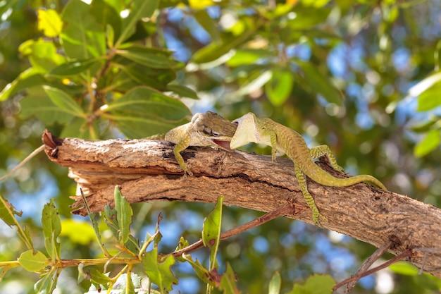 Beau gecko vert sauvage sur l'île de cayo blanco à cuba