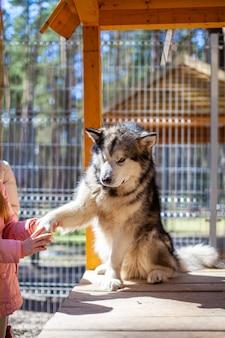 Un beau et gentil berger malamute d'alaska est assis dans un enclos