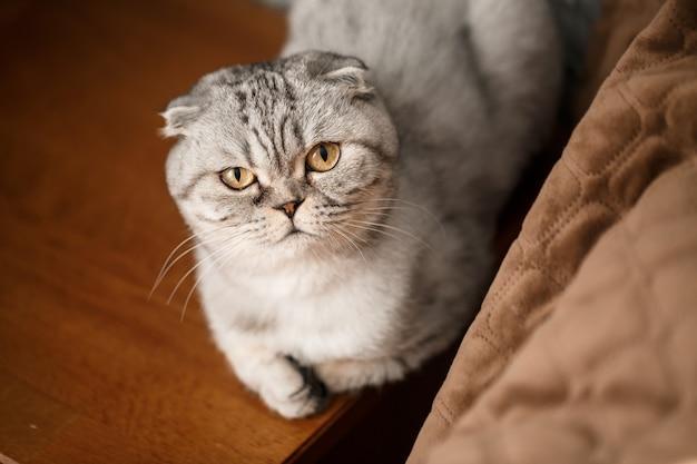 Un beau grand chat gris scottish fold ou scottish fold. chat ludique pour animaux de compagnie