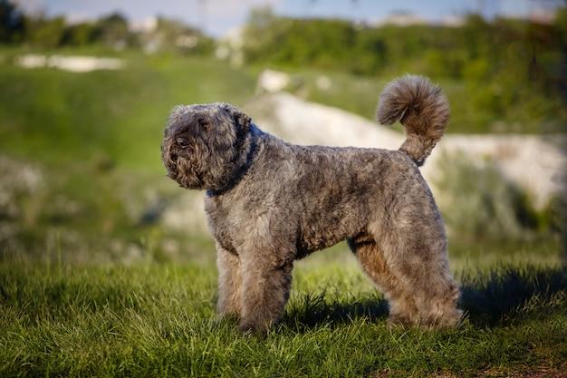 Beau grand chien de race flandre bouvier.