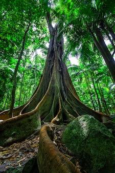 Beau grand figuier avec un énorme système racinaire en forêt tropicale