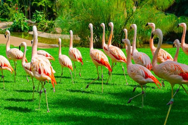 Beau grand groupe de flamants roses marchant sur l'herbe dans le parc