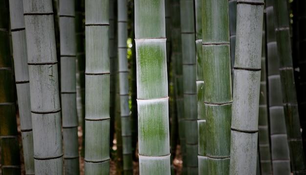 Beau gros plan de branches de bambou hautes et fraîches de plus en plus