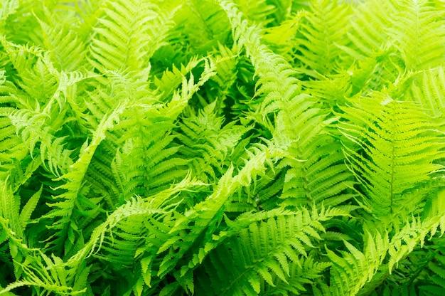Beau gros plan de feuilles de fougère verte