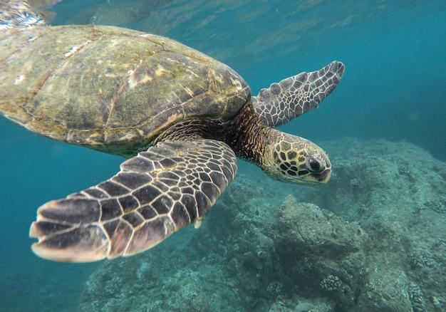 Beau gros plan d'une grande tortue nageant sous l'eau dans l'océan