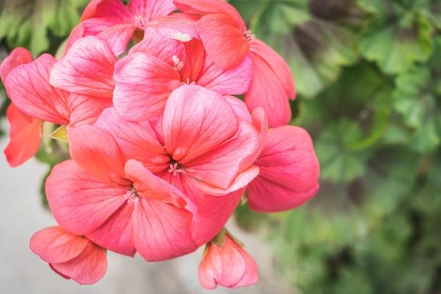 Beau gros plan d'hortensias roses