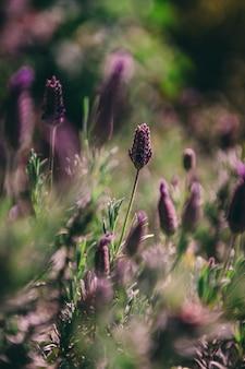 Beau gros plan de mise au point sélective de lavandes violettes avec un naturel flou
