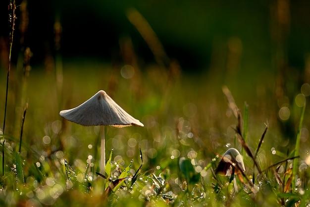 Beau gros plan petit champignon dans le jardin, champignon avec prairie verte