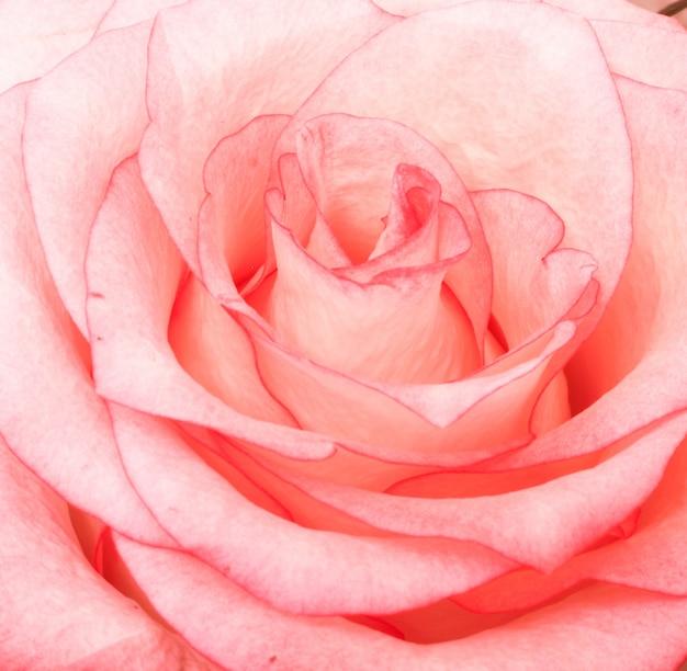 Beau gros plan d'une rose rose