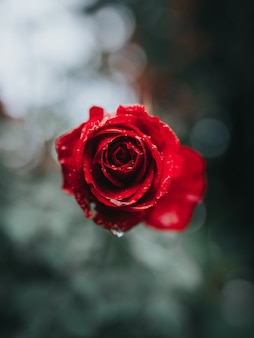Beau gros plan d'une rose rouge avec de la rosée du matin dessus