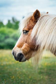 Beau gros plan de la tête d'un poney brun aux cheveux blonds