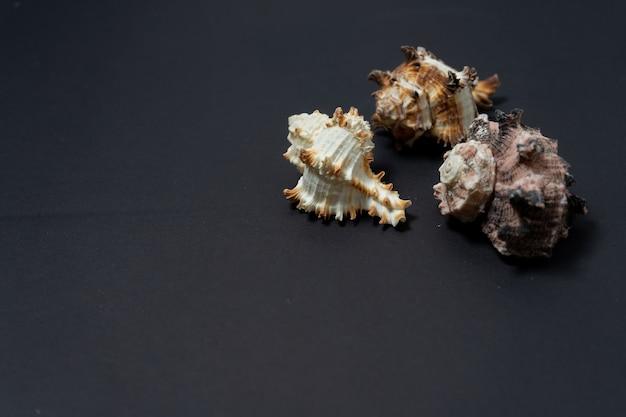 Beau groupe de trois coquilles d'escargots de mer du genre murex