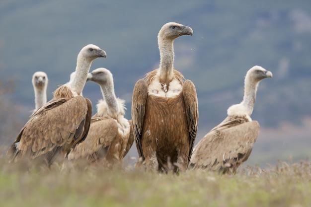 Beau groupe vautour fauve