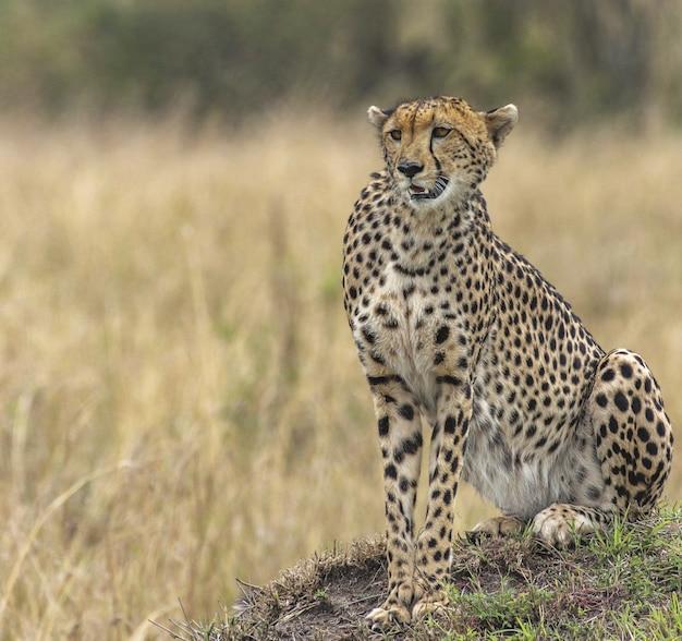 Beau guépard dans un pré sec jaune
