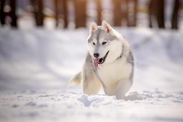 Beau husky de sibérie en promenade, contre un paysage enneigé.