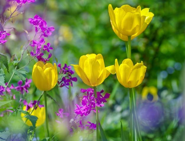 Beau jardin champ de tulipes jaunes