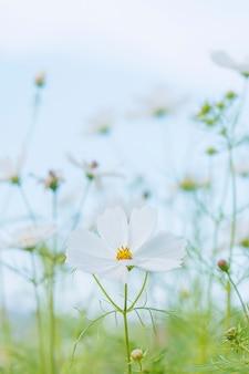 Beau jardin de fleurs de cosmos pourpre