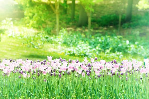 Beau jardin de tulipes dans le parc verdoyant