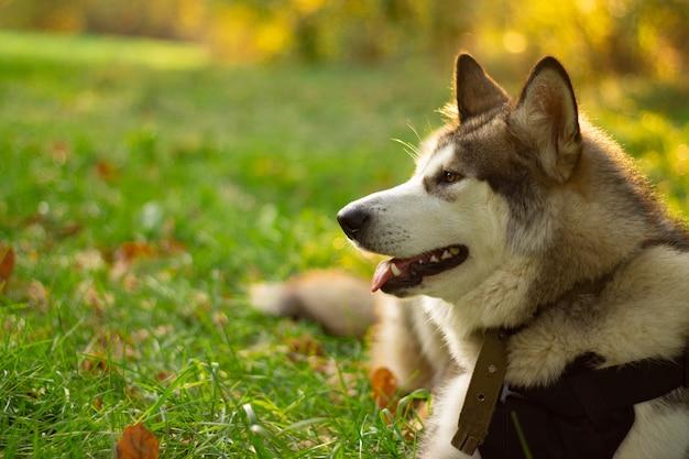 Beau jeune chien de race malamute d'alaska allongé dans les rayons du soleil sur fond de verdure et d'herbe