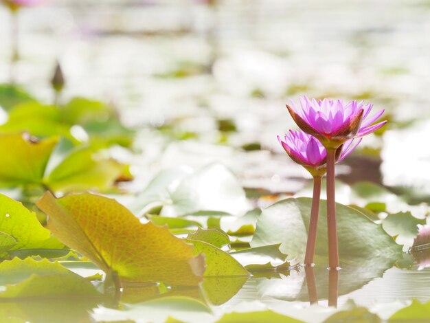 Beau joli lotus violet dans une livre
