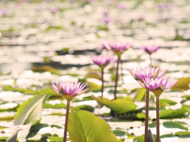 Beau joli lotus violet pendant le coucher du soleil