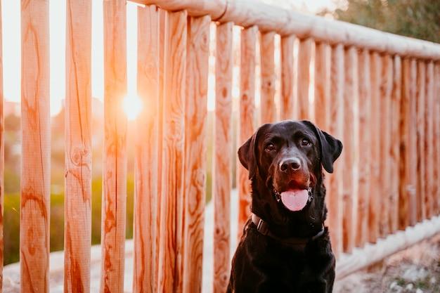 Beau labrador noir assis dans un parc au coucher du soleil. animaux de compagnie en plein air et style de vie