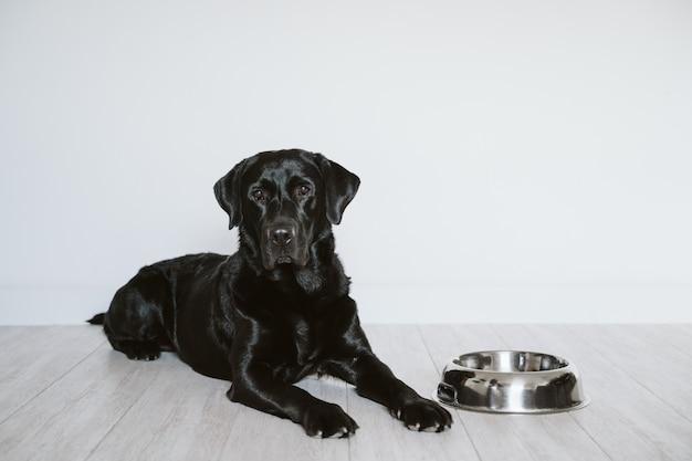 Beau labrador noir attendant de manger son repas. maison, intérieur