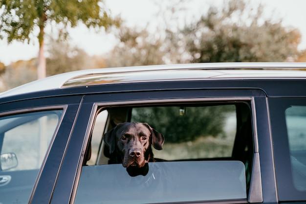 Beau labrador noir dans une voiture prête à voyager. fond de la ville. regarder par la fenêtre au coucher du soleil. concept de voyage