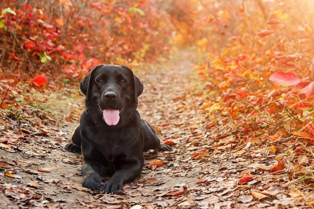 Beau labrador noir retriever se trouve contre une forêt automnale
