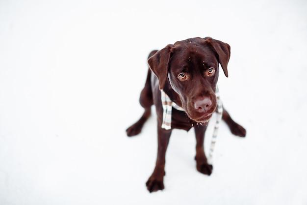 Beau labrador retriever brun dans la forêt d'hiver