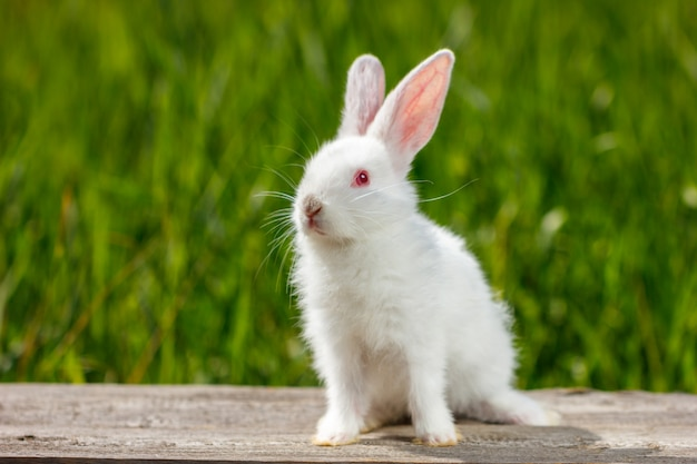 Beau lapin blanc mignon sur fond vert naturel