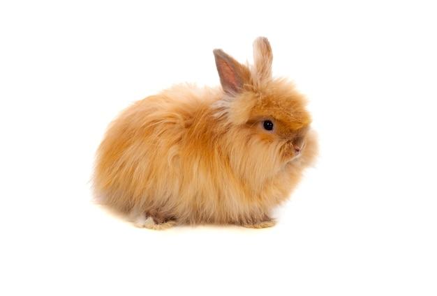 Beau lapin brun avec des cheveux longs et doux