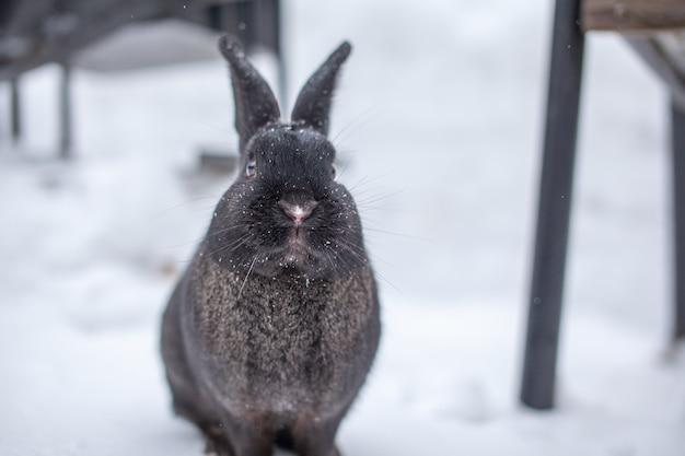 Beau lapin noir moelleux en hiver dans le parc. le lapin est assis en attente de nourriture.