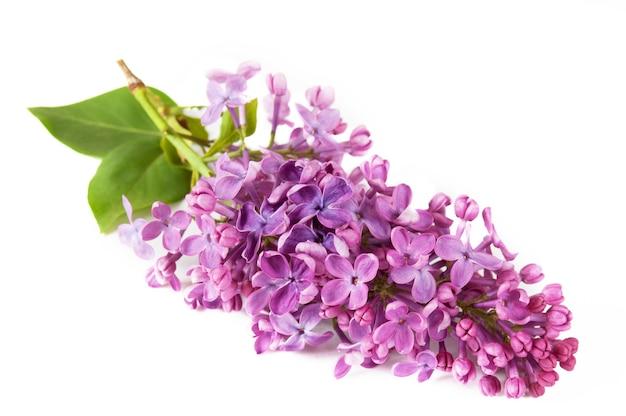 Beau lilas isolé sur fond blanc