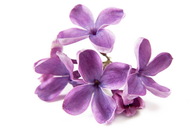 Beau lilas isolé